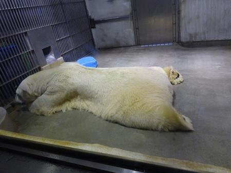 東山動植物園に居たホッキョクグマ